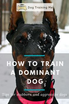 How to train a dominant dog and get them to be more obedient? Stop your dog's dominant behavior with the advice in our article. We will help you train your stubborn or aggressive dog so you can enjoy having them around again. Click through for all our gre Training Your Puppy, Dog Training Tips, Potty Training, Training Schedule, Training School, Training Classes, Dog Obedience Training, Schutzhund Training, Doberman Training