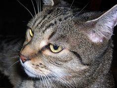 Cat / Getigerte Katze