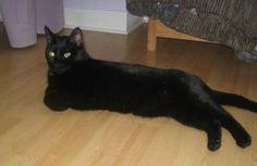 MARCEL   Ecole du chat de Caen (14) Tél : 0782616089    De préférence sans autres animaux MARCEL est un jeune  chat au magnifique pelage noir intense. Il est gentil et recherche la compagnie et la présence, il aime jouer.  Il vient pour être caressé.  Adore le lit et faire la sieste proche de nous. Il a  besoin de vivre en maison avec possibilité de sortir.