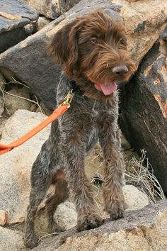Korthals griffon ..also called Wirehaired Pointing Griffon  this is Winchester