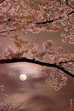 Cherry blossoms under the moon. Japan. Unknown photographer
