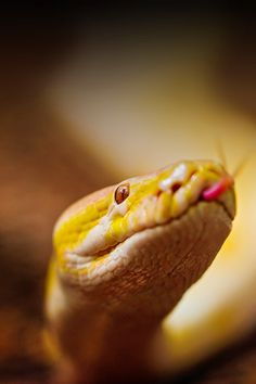 FREEIOS7 | albino-burmese-python | freeios7.com Snake Wallpaper, Ios 7 Wallpaper, Wallpaper Quotes, Wallpapers, Cute Baby Animals, Animals And Pets, Beautiful Creatures, Animals Beautiful, Reptile Show
