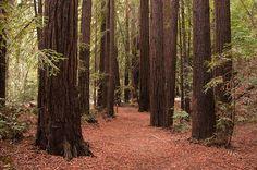 Northern California - Giant Redwoods