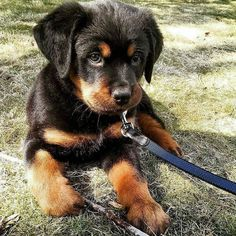 I love rotties obviously ❤️ - Tap the pin for the most adorable pawtastic #Rottweiler