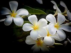 Plumeria blooms, used in leis. The trees are everywhere on the islands and the heavenly scent in the air. To me, one of the most beautiful smells on earth!