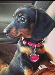 Dachshund puppy  Note that I like the collar and matching tag #Dachshund