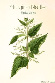 Stinging Nettle Urtica dioica http://www.moodharvest.info/powerfulherbs