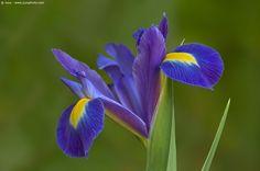 Iris reticulata (Reticulated Iris) - #purple #flower