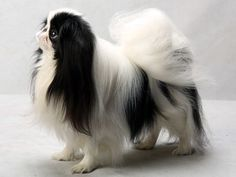 Mini, a Japanese chin
