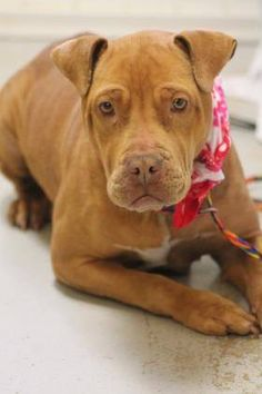 RESCUED>NAME: Gala  ANIMAL ID: 30994972 BREED: Pit/boxer mix  SEX: female  EST. AGE: 4 yr  Est Weight: 49 lbs  Health: heartworm pos  Temperament: dog friendly people friendly.  ADDITIONAL INFO: RESCUE PULL FEE: $35  Intake date: 3/3  Available: Now