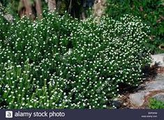 Image result for Phylica ericoides