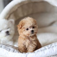 Miniature Poodle Puppy Miniature Poodle Puppy Miniature Poodle Puppy Do you llove own a Living teddy bear ? Here are cutest Teddy Bear Dog breeds you ever see. Find interesting facts and information about teddy bear dogs Teacup Pomeranian Puppy, Cute Teacup Puppies, Tiny Puppies, Cute Dogs And Puppies, Baby Dogs, Cutest Dogs, Doggies, Cute Fluffy Puppies, Puppy Goldendoodle