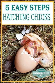 How to hatch chicken eggs successfully with an egg incubator in 5 easy steps. Fancy Chickens, Keeping Chickens, Raising Chickens, Chickens Backyard, Hatching Chickens, Silkie Chickens, Chicken Incubator, Egg Incubator, Chicken Shed
