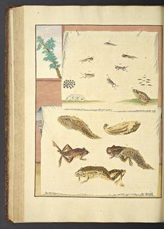 Maria Sybilla Meriaen Over de voortteeling en wonderbaerlyke veranderingen der Surinaemsche insecten, : - Biodiversity Heritage Library