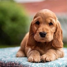 Cute Baby Dogs, Cute Baby Animals, I Love Dogs, Cute Puppies, Dogs And Puppies, Perro Cocker Spaniel, Cocker Spaniel Dog, Cockerspaniel, Cute Animal Pictures