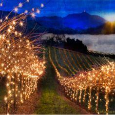 Vineyard with christmas lights