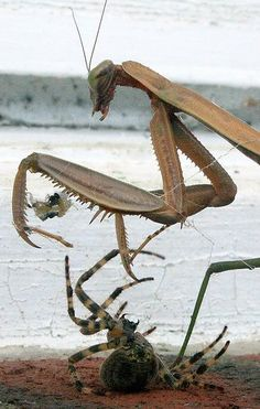Praying Mantis vs. spider