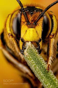 European Wool Carder Bee VIII by dalantech. @go4fotos
