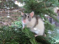 Rat I. Murphy
