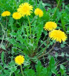 Dandelion is a Hardy Perennial Wildflower used for Multi-Purposes Dandelion Plant, Plant Leaves, Dandelion Flower, Edible Plants, All Plants, Gold Flowers, Yellow Flowers, Dandelion Benefits, Sunflower Family