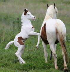Cute little foal jumping up at Momma horse. Paint horses.