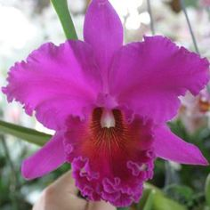 Blc. Norman's Bay 'Low' AM, FCC/AOS (Bc. Hartland x Lc. Ishtar) We are very excited to offer this fantastic old cattleya for sale again. This plant produces dark magenta flowers with a texture of velv