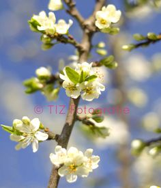 #Appelbloesem, #appel, #blossom, #blue Plants, Plant, Planets