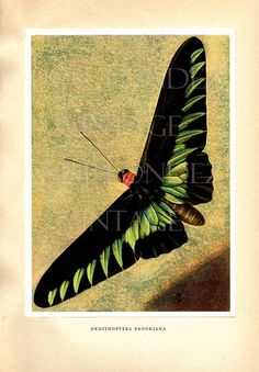 1950 Vintage butterfly illustration black and green by annelondez1