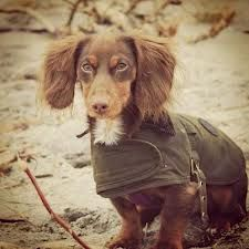 barbour coat for dogs Barbour, Farm Animals, Cute Animals, English Country Style, Dog Wear, Country Living, Things To Buy, Bobs, Dachshund