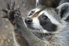 Raccoon by EugeniaL