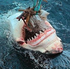 Shark Pictures, Shark Photos, The Great White, Great White Shark, Wild Creatures, Ocean Creatures, Photos Du, Cool Photos, Types Of Sharks