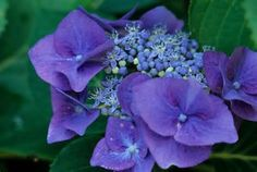 lacecap hydrangea in deep blue