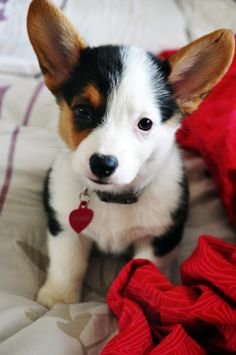 """THAT FACE! (whenever I realize I'm getting too bogged down in wedding stuff, I immediately search for """"corgi puppies."""")"""