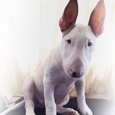 #Bull #Terrier :)