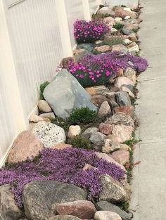 Rock garden with Creeping thyme, early blue violets, fire witch, pussy toes, and succulents.  Early blue violets are great for growing in rock crevices.