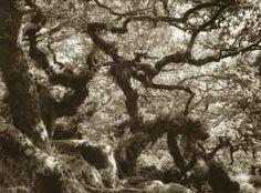 Wistmans Wood,Dartmoor,silver gelatin print