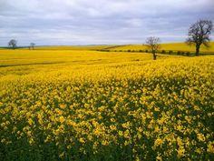 Miles of rapeseed flowers in bloom in Northumberland, England