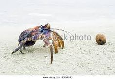 Image result for baby coconut crab