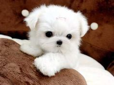 Teacup Maltese Puppies For Sale | ... Dogs -> videos -> Tiny Teacup Maltese For Sale Ms Puppy Connection