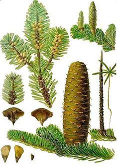 L'abete bianco era già presente sulla Terra cinquantacinque milioni di anni or sono. Ha resistito a tutti i capovolgimenti geologici dell'era quaternaria e, di generazione in generazione, è giunto alla nostra Era. Pianta longeva, che può raggiungere anche 800 anni, l'abete bianco è una stupenda conifera, dal portamento maestoso, con grandi ramificazioni opposte e aperte che si accorciano verso la sommità. Cactus Plants, Terra, Cacti, Cactus