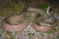 Apalachicola King Snake Lampropeltis getula meansi (goini) Striped