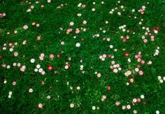 Fleur de Lawn is a flowering eco-lawn mix with low growing perennial flowers that change color and texture through the seasons. It was developed at Oregon State University through research on eco-friendly landscapes; $29.95 for a 1-pound bag at Pro Time Lawn Seed. Image via Oregon State University Department of Horticulture.