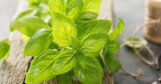 Fresh Basil (or Other Herbs) Money Saving Meals, Save Money On Groceries, Fresh Basil, Fresh Herbs, Freezer Containers, A Food, Food And Drink, Food Cost