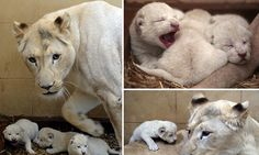 Three's the magic number: Newborn white lion triplets take their first steps in new world
