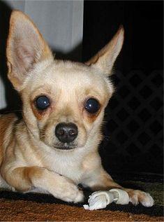 If you love Corgis as much as we do then you're sure to love these 15 gorgeous Corgi mixes. Corgi Beagle, Corgi Dachshund, Corgi Mix, Corgi Toys, Chihuahua Mix, Long Haired Chihuahua, Long Haired Dachshund, Corgi Cross Breeds