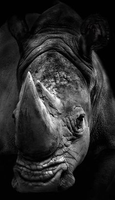 Rhino. Beautiful and powerful.