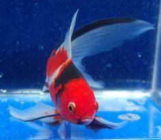 Goldfish - Sanke like Shubunkin