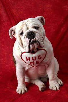 English bulldog  - Does someone need a hug?