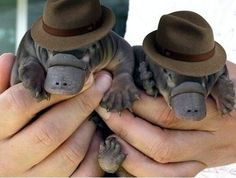 Cute overload-baby platypus with hats