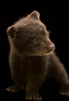 Gorgeous Cute Grizzly Cub!